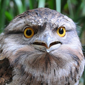 North Lakes Frogmouth Owls