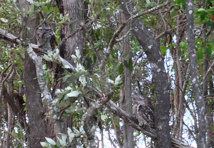 Tawny Frogmouth Owls North Lakes
