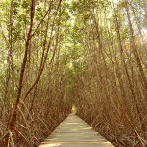 Mother-Mangrove-Featured-image