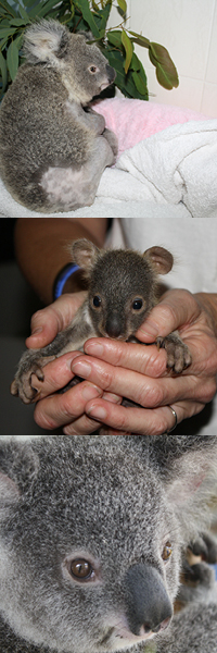 Koala-rescue-banner