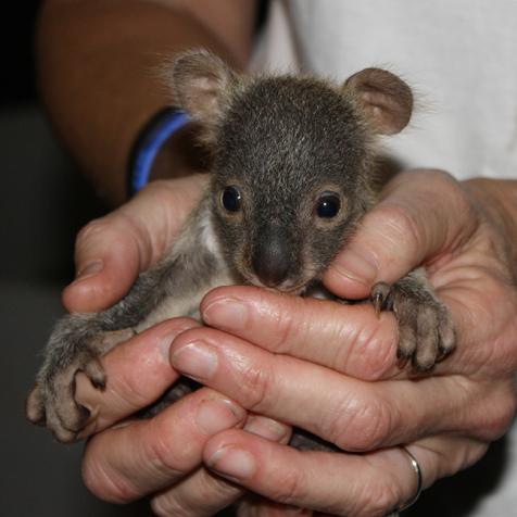 baby-koala-moreton-bay-koala-rescue
