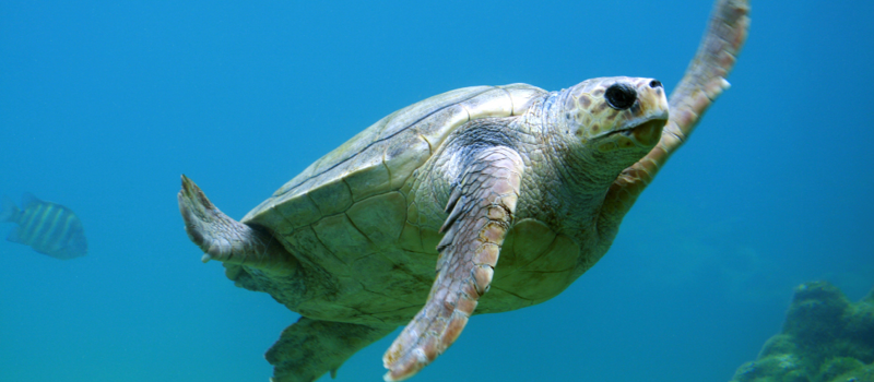 Turtles-benefit-from-Moreton-Bay-Council-straw-ban