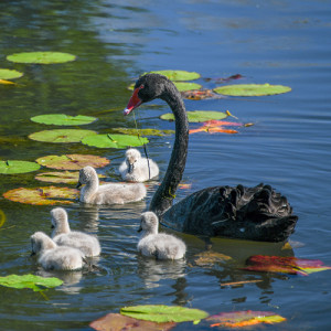 Black-swan-with-cygnets