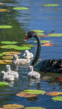 cygnets-with-mumma-black-swan-living-loving-photography