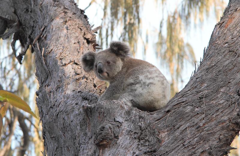 koala-bushfire-season-2020