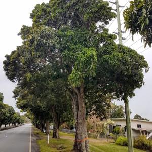 Mango-Hill-mango-trees