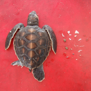Baby-turtle-plastic-study-usc-csiro